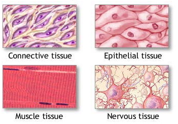 Tessuti biologia m canisme chasse d 39 eau wc - Che forma hanno le cellule dei diversi tessuti ...